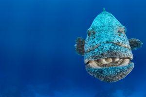 Potato Cod Grouper