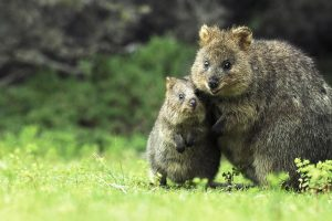 Quokka Mother Son