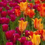 Tulip Ottawa