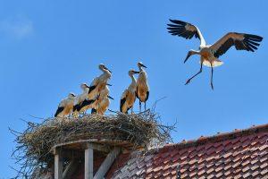 Aischgrund Storch