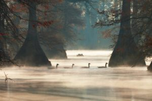 Arkansas Geese
