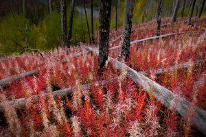Canada Fireweed