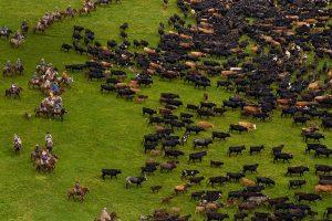 Ecuador Cattle