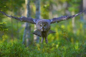 Finland Grey Owl