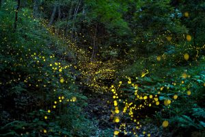 Fire Flies Okinawa