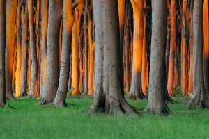 Germany Beech Trees
