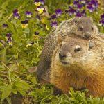 Groundhog Adult And Young