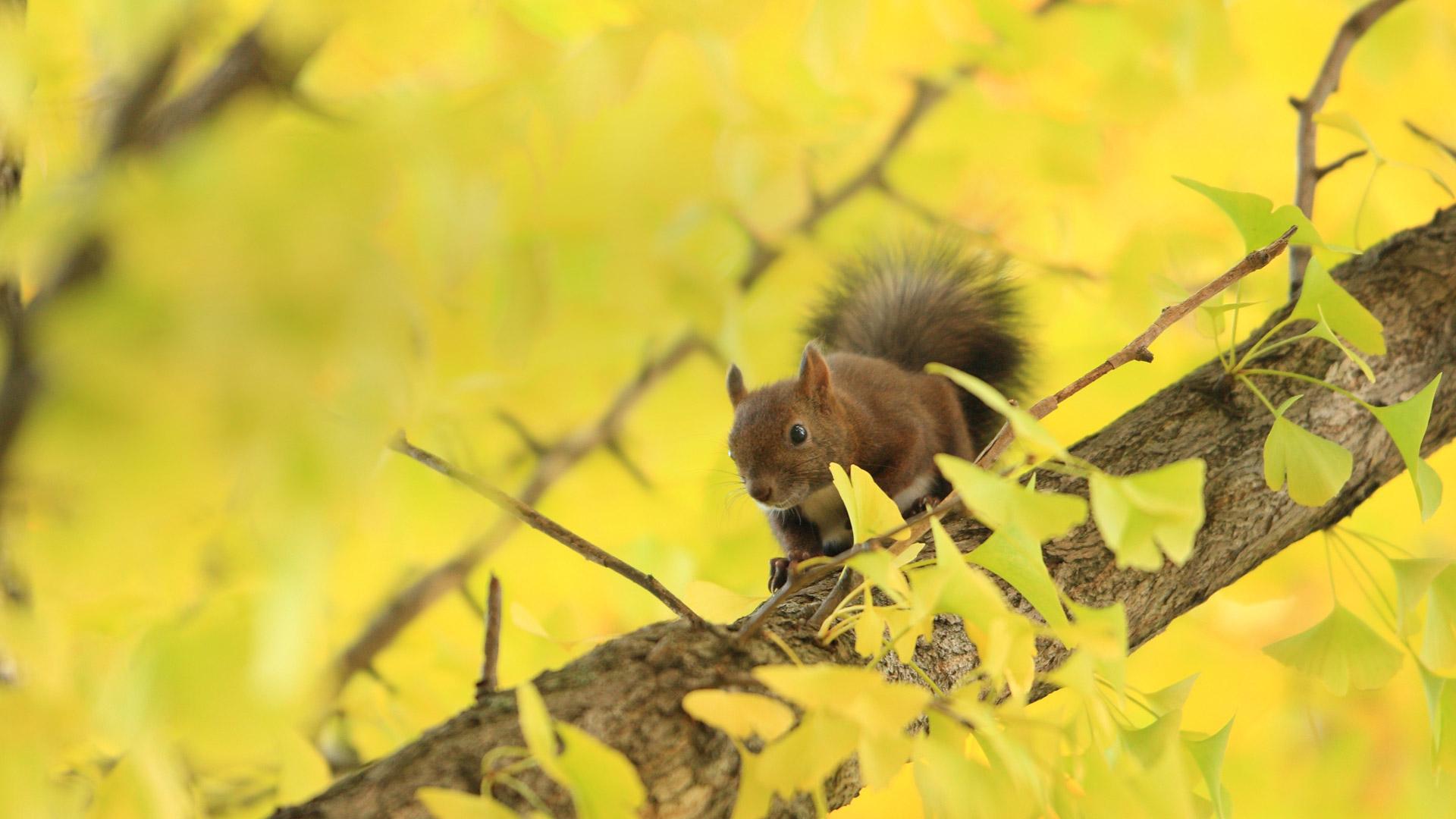 Hokk Squirrel