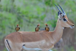 Impala AND Redbilled Oxpeckers