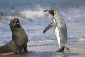 King Penguin And Antarctic Seal