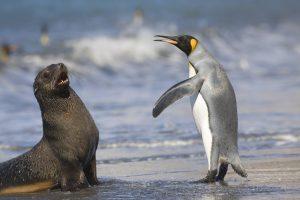 King Penguin And Antarctic Seal