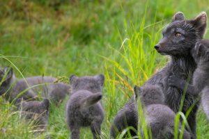 Lapland Fox Pups