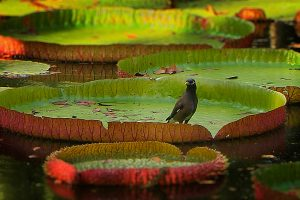 Lily Pad Bird Video