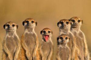 Meerkat Cousins