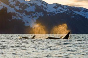 Orcas Kenai Fjords