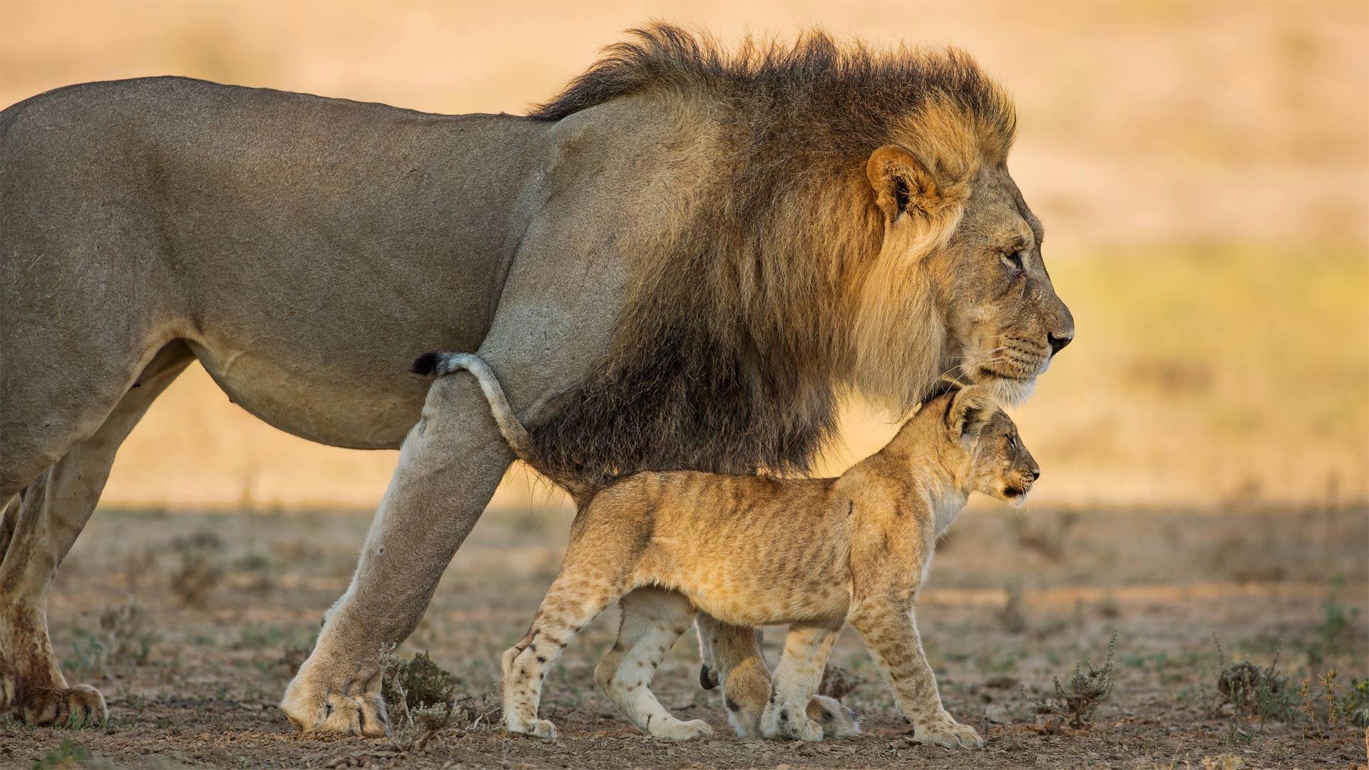 Panthera Leo Dad