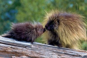 Porcupine Mom