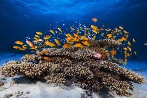 Red Anthias Coral Mayotte