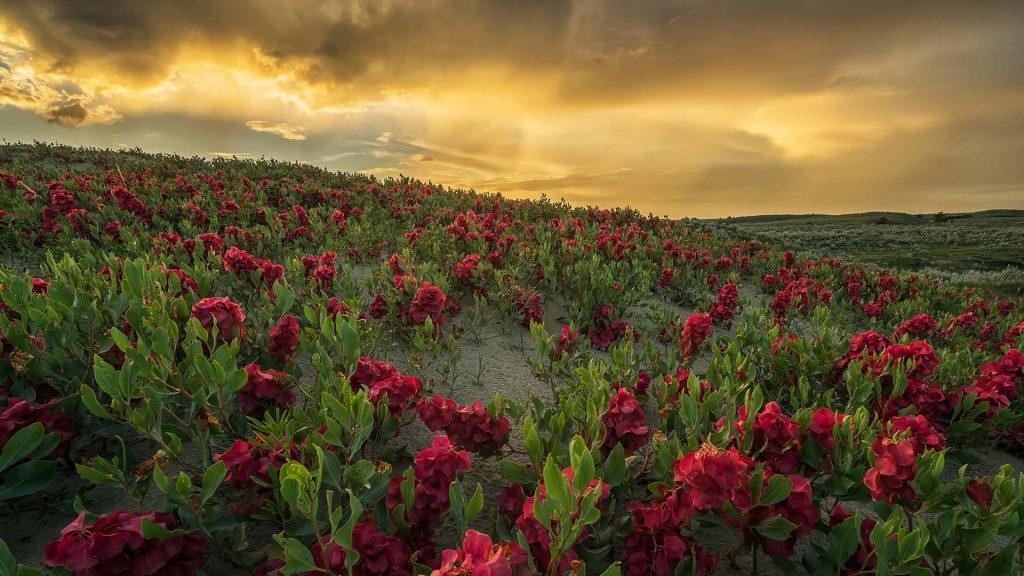 Sask Flowers