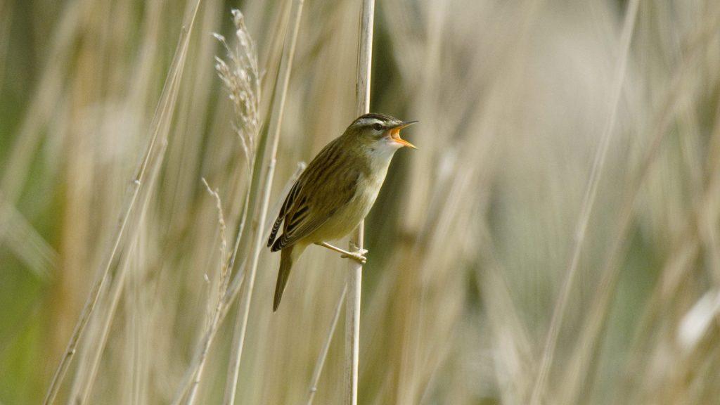 Sedge Warbler Singing