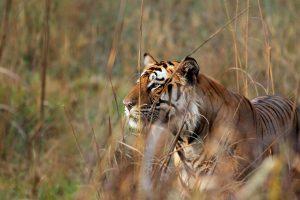 Bengal Tiger Bushes