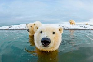 Bernard Spit Polar Bear