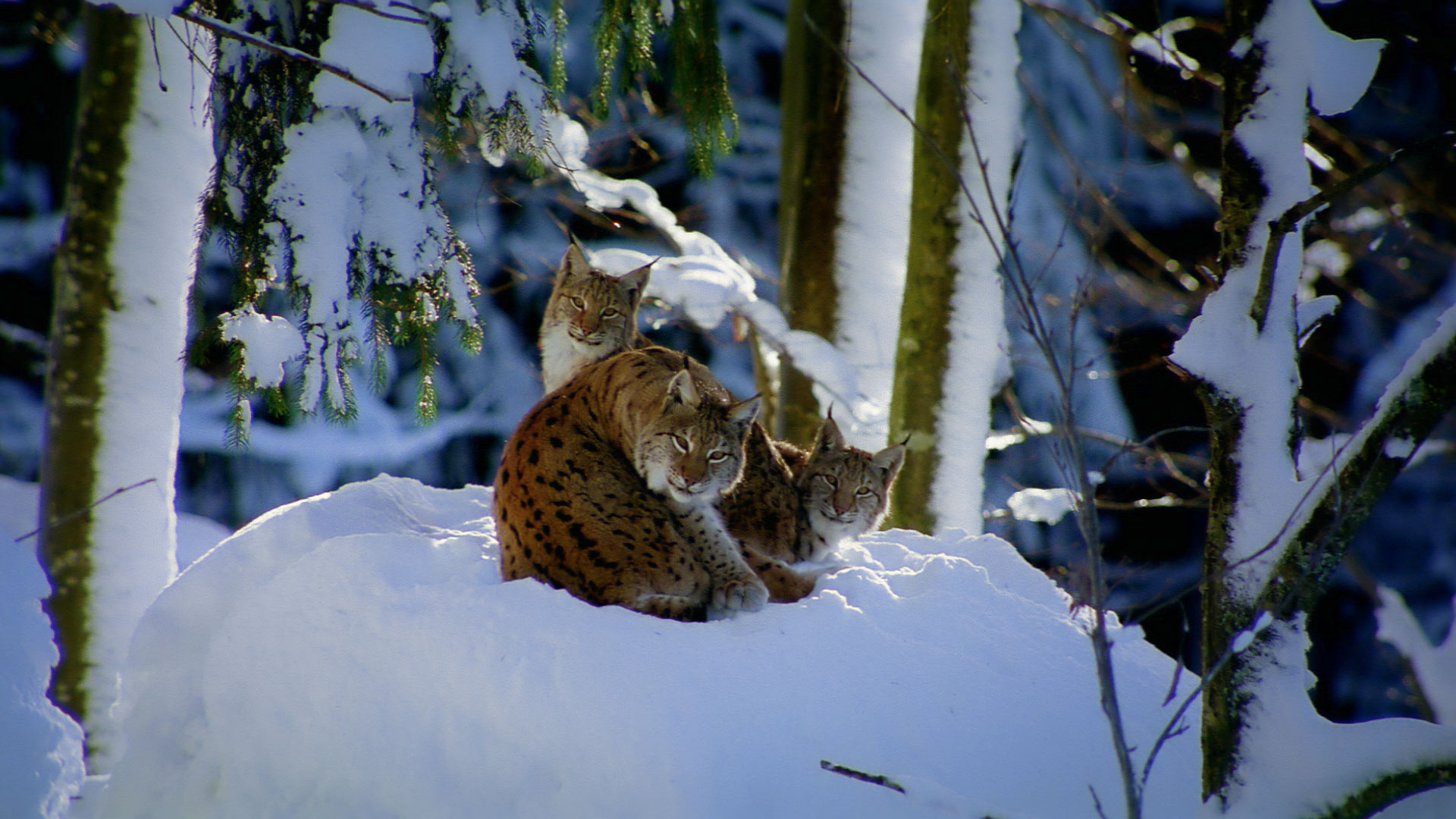 Germany Lynx