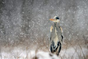 Grey Heron Snow