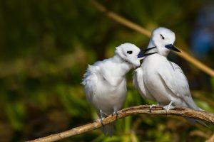 Hawaii Terns
