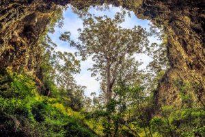 Karri Tree