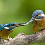 Kingfisher DE