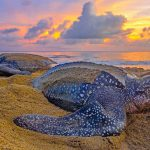 Leatherback TT