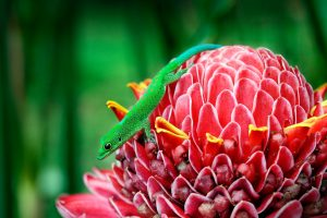 Mayotte Gecko