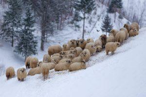 Mountain Sheep Australia