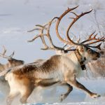 Norway Reindeer