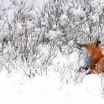 Red Fox Canada