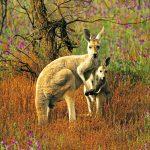 Red Kangaroo Flinders Ranges