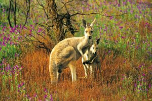 Red Kangaroo Flinders Ranges