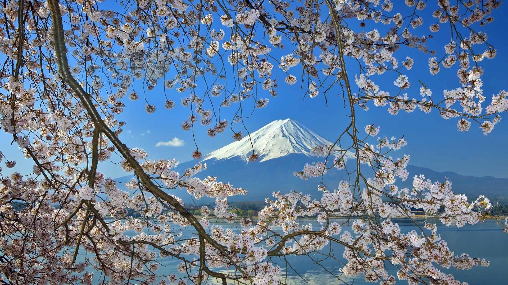 Sakura With Fuji