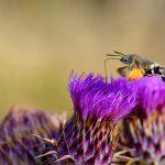 Sardinia Hawk Moth