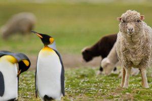 Sheep King Penguin