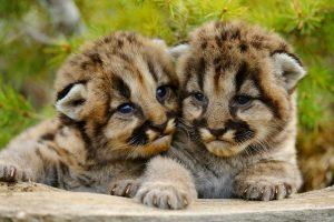 Sibling Cougars