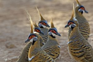 Spinifex Pigeons