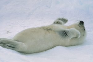 St Lawrence Harp Seal