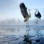 Stockport Herons