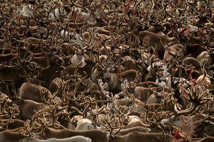 Western Arctic Herd