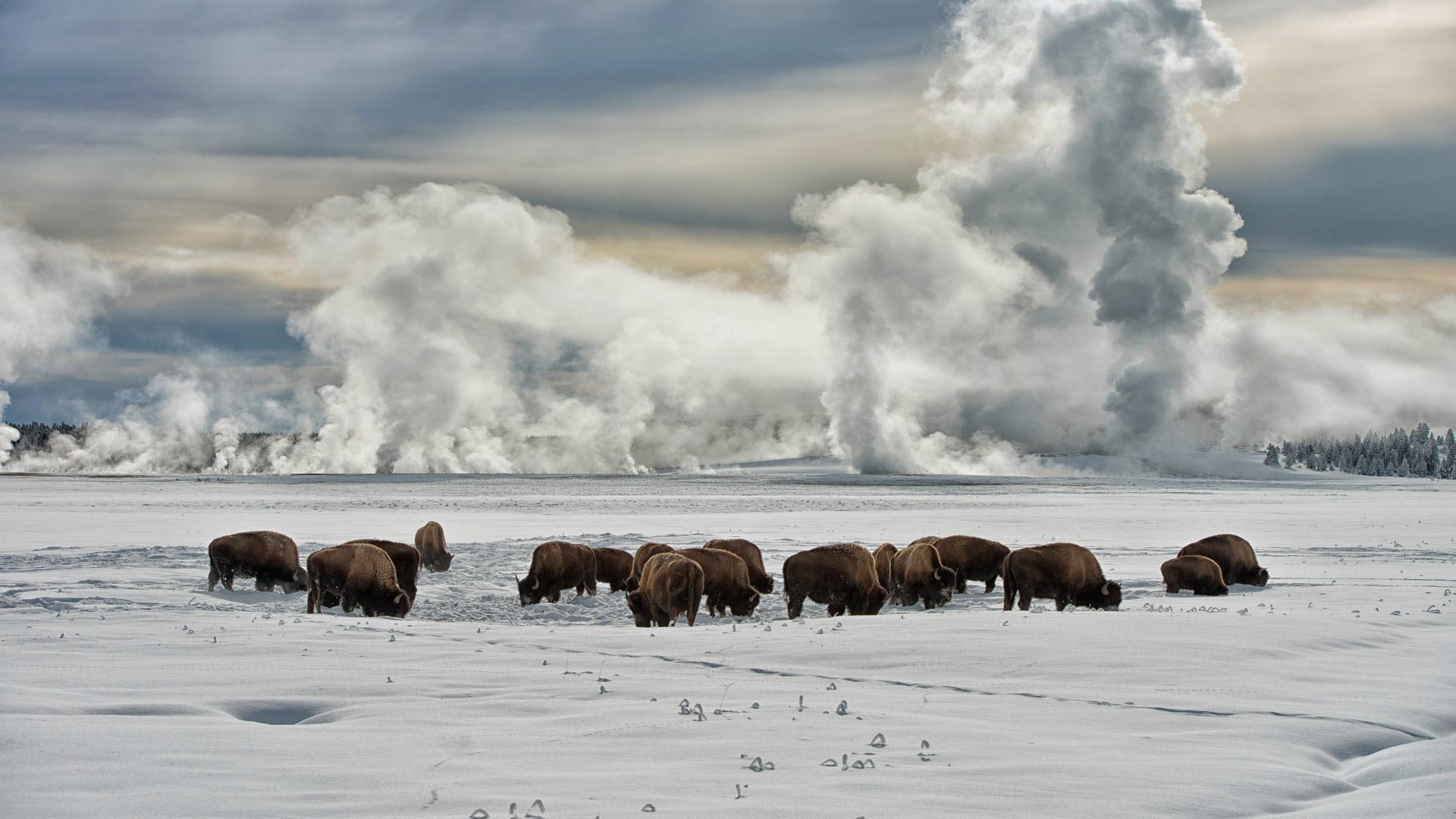 Yellowstone NP Buffalo