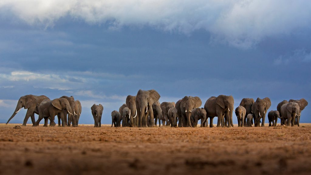 Amboseli Herd