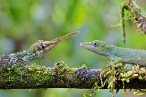 Horned Anole