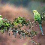 Parrots India
